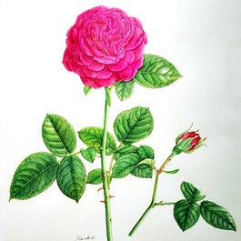 ボタニカル アート 教室 〜植物細密画〜  講師 小島 万里子